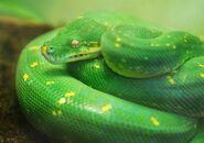 Python, Green Tree
