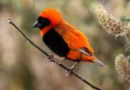 Southern Red Bishop or Red Bishop (Euplectes orix) (1)