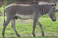 Tronto Zoo Zebra