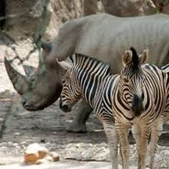 Two Zebras and One Rhinoceros