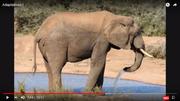Elephants Adapt