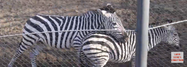 Milwaukee County Zoo Grant's Zebras