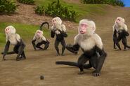 TarJAn White-Faced Capuchins