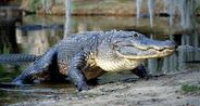 American-alligator-emerging-from-a-swamp
