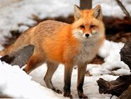 American Red Fox (V2)