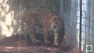 Baton Rouge Zoo Sumatran Tiger