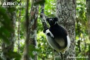 Indri-sitting-on-branch
