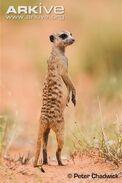 Meerkat-on-lookout-duty