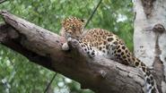 Minnesota Zoo Leopard