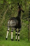 Okapi LG