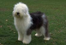 Old english sheepdog1