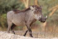 Warthog, Common