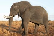 African Bush Elephant in South Africa