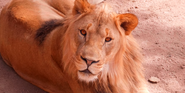 Cheyenne Mountain Zoo Lion