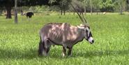 Lion Country Safari Oryx