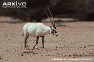 Male-Arabian-oryx-crossing-clearing