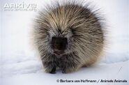 North-american-porcupine