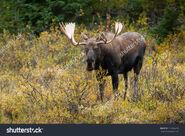 Stock-photo-bull-western-moose-portrait-alces-alces-andersoni-alberta-canada-north-america-232614439