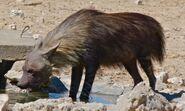 Brown Hyena (Parahyaena brunnea) (6472926331)