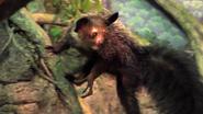 Cincinnati Zoo Aye-Aye