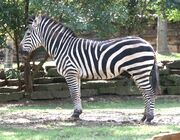 Zebra (Animals)