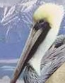 Brown pelican switch zoo