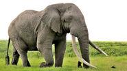 Elephant poaching-973x548