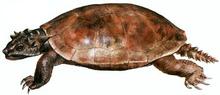 Meiolania platyceps