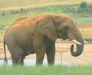 North Carolina Zoo Elephant