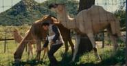 WBAZ Camels