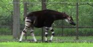 Brookfield Zoo Okapi