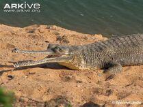 Gharial-female-on-sandy-bank