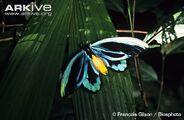 Male-Queen-Alexandras-birdwing