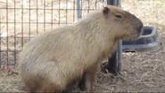 Rolling Hills Zoo Capybara