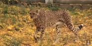 Phelidelphia Zoo Cheetah