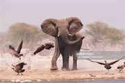 Vultures and Elephants