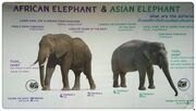 African-and-asian-elephants including mammoths