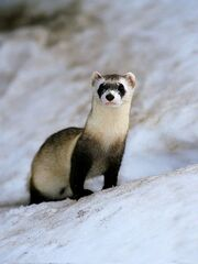 Black-footed-ferret 465 600x450