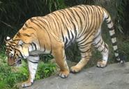 Cincinnati Zoo Tiger