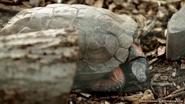 Utica Zoo Tortoise V2