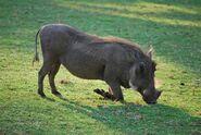 Warthog, Southern