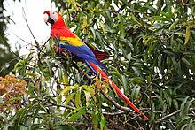 220px-Scarlet-Macaw-cr