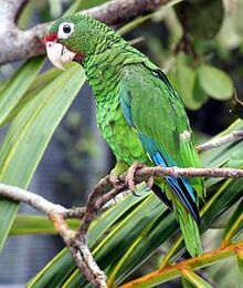 240px-Puerto Rican parrot