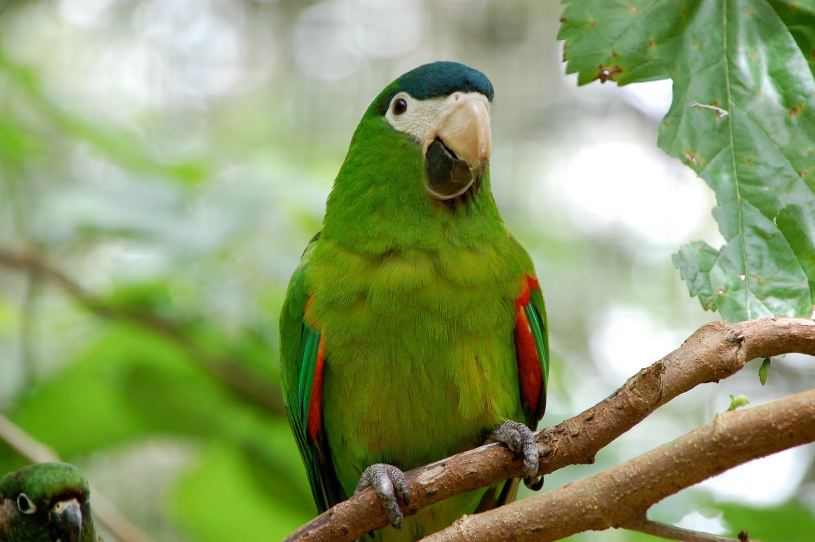 Information about the parrot Ara. Wikipedia does not offer. I will be very grateful