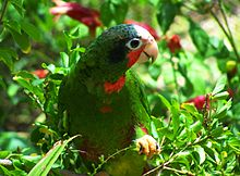 220px-Cuban Amazon Parrot in the Cayman Islands