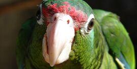 242px-Puerto Rican parrot