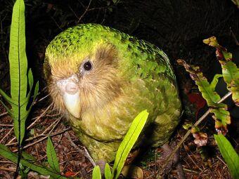 Kakapo-10