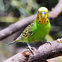 File:220px-Melopsittacus undulatus -Fort Worth Zoo-8a-4c.jpg