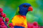 Rainbow-Lorikeet-LAQT0001