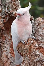 170px-Leadbeaters cockatoo